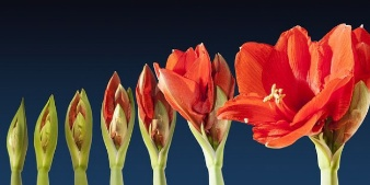 grow-lapse-amaryllis-time-sequence-blossom-flower_121-73353