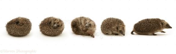 Hedgehog uncurling